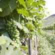 Branch grape vine with grapes cluster — Stock Photo