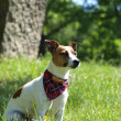 JACK RUSSELL TERRIER — Stock Photo #10270074