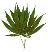 Marihuana leaf — Stock Photo