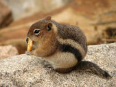 Squirrel in Rocky Mountains National Park - United States of America — Stock Photo