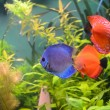 Blue and orange discus  fish - Stock Photo