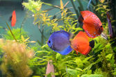Blue and orange discus fish — Stock Photo