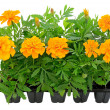 Tagetes flower seedlings in containers - Stock Photo