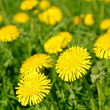 Dandelions (Taraxacum officinale) blooming — Stock Photo