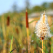 Royalty-Free Stock Photo: Cattails and Reeds