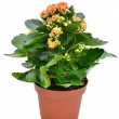 Pink Kalanchoe — Stock Photo