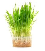Grass in the container. On white background. — Stock Photo