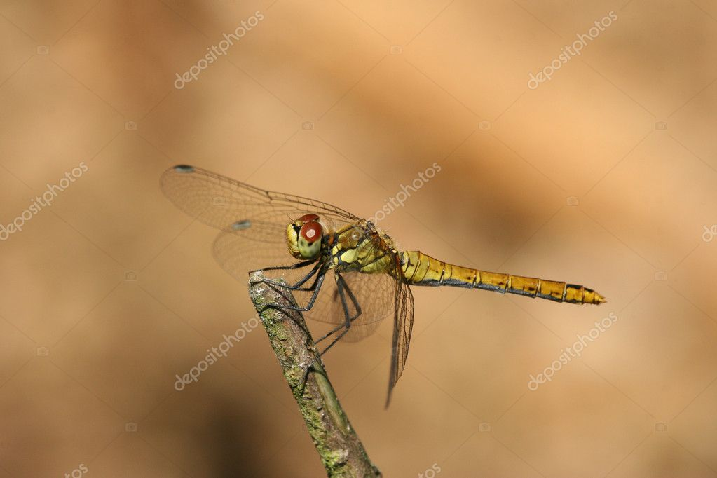 Dragonfly on a twig — Stock Photo #9449338
