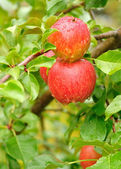 Apples with Raindrops — Stock Photo