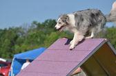 青い merle ボーダーコリー犬のアジリティのトライアルで — ストック写真