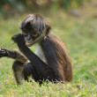 Geoffroy's Spider Monkey (Ateles geoffroyi) Eating — Stock Photo