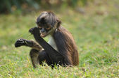 Geoffroy's Spider Monkey (Ateles geoffroyi) Eating — Stock Photo