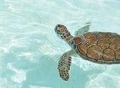 Baby Sea Turtle Swimming — Stock Photo