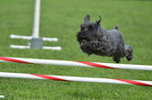 Black Miniature Schnauzer at a Dog Agility Trial — Stock Photo