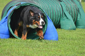 Bernese Mountain Dog at a Dog Agility Trial — Stock Photo