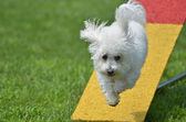 Bichon Frise at a Dog Agility Trial — Stock Photo