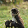 Stock Photo: Geoffroy's Spider Monkey (Ateles geoffroyi)