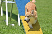 Pembroke Welsh Corgi at a Dog Agility Trial — Stock Photo