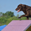 Brown Chocolate Lab at a Dog Agility Trial — Stock Photo