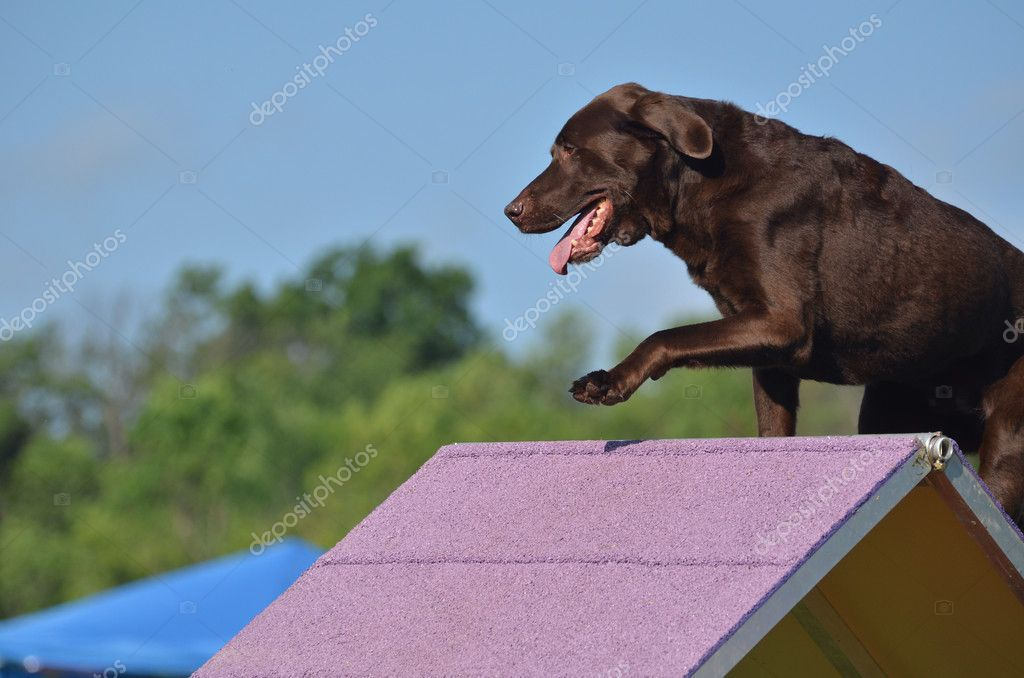 Brown Chocolate Lab At A Dog Agility Trial  Stock Image
