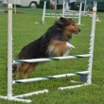 Shetland Sheepdog (Sheltie) at a Dog Agility Trial — Stock Photo