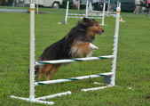 Shetland sheepdog (шелти) на суде ловкость собака — Стоковое фото