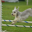 Stock Photo: Silver Miniature Schnauzer at Dog Agility Trial