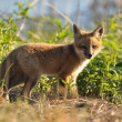Stock Photo: Red Fox Kit