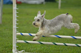 Silver Miniature Schnauzer at a Dog Agility Trial — Stock Photo