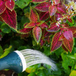 Stockfoto: Watering plants
