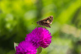 Moth on Flower — Stock Photo