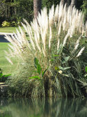 Pampas grass plant — Stock Photo