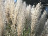 Pampas gras blätter — Stockfoto