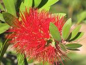 Bottlebrush flower — Stock Photo
