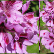 Bicolor geranium collage 2 — Stock Photo