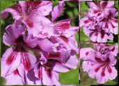 Bicolor geranium collage 2 — Stockfoto
