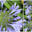 Stock Photo: Agapanthus collage 2