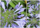 Agapanthus collage 2 — Stock Photo