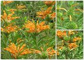 Leonotis leonorus flower collage — Stock Photo