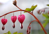 RED HEART FLOWER — Stock Photo