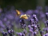 Motyl na lawendy — Zdjęcie stockowe