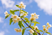 Branch of jasmine on the sky background. — Stock Photo