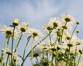 Camomiles on the sky background. — Stock Photo