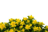 Isolated yellow flowers on white background. — Stock Photo