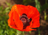 Red poppy on the green background. — Stock Photo