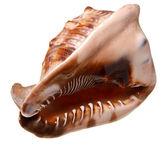 Seashell (clamshell) geïsoleerd op een witte achtergrond. — Stockfoto
