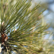 Fir tree — Stock Photo #9155268