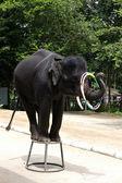 Elephant show — Stock Photo