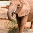 A big wild African elephant — Stock Photo