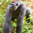 A silverback gorilla — Stock Photo